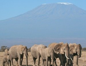 Elephants of Amboseli