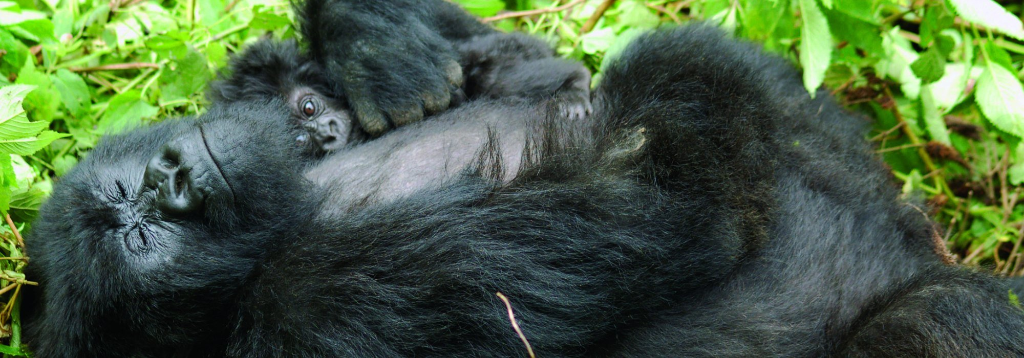 Gorilla in Volcanoes National Park Rwanda
