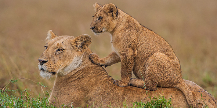 Lion cub lookout in East Africa