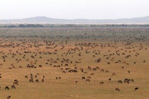 Wildebeest on the Serengeti Plains