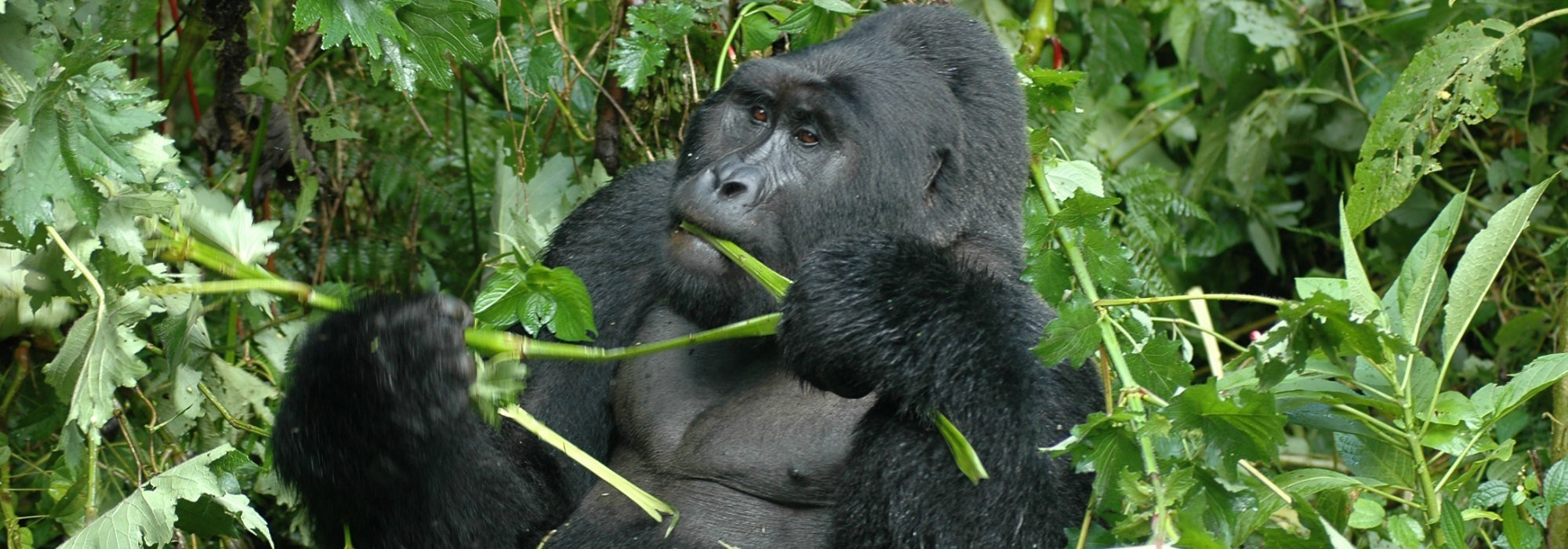 Gorilla in Uganda's Bwindi National Park