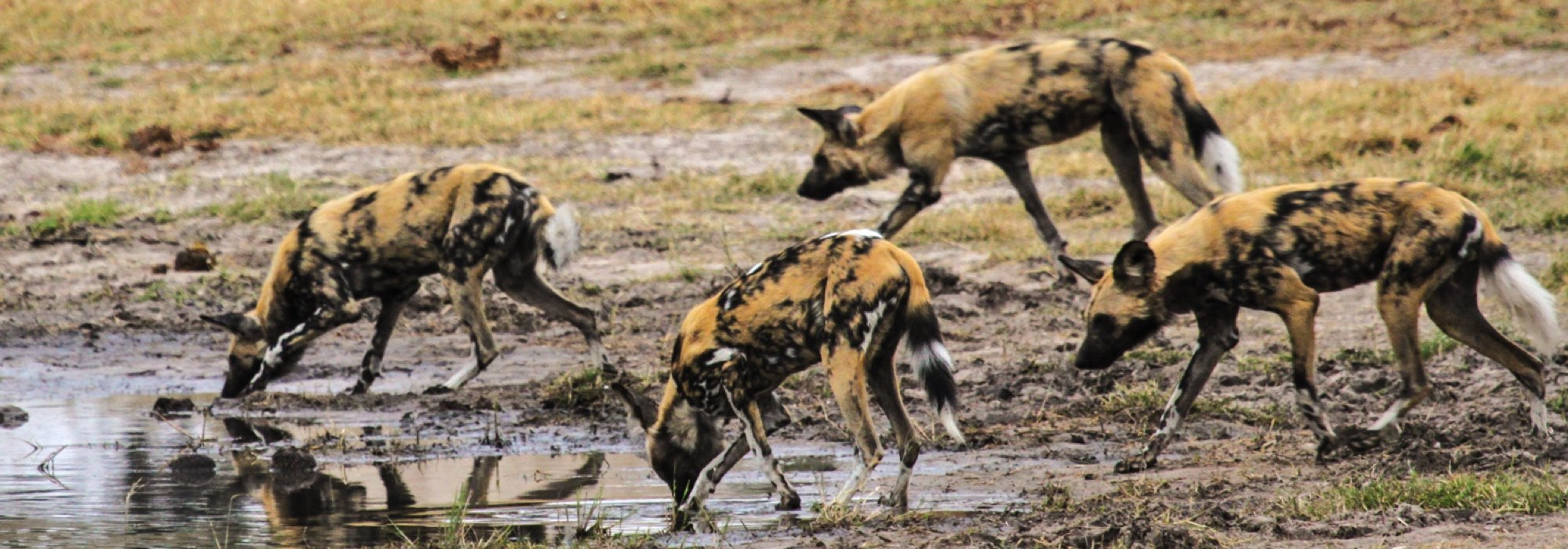 Wild Dog in Hwange National Park