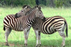 Zebra are found in the Ndutu area