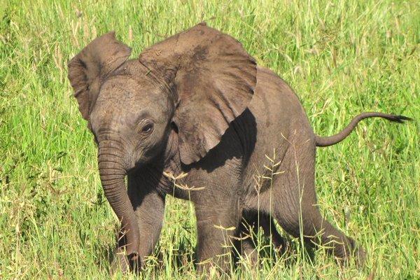 Baby elephant in Tanzania