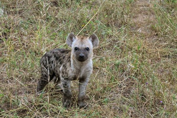 Baby Hyena in Africa.