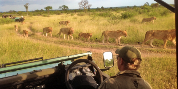 Lions on Safari in South Africa