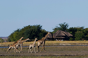 giraffes-in-the-front-lodge