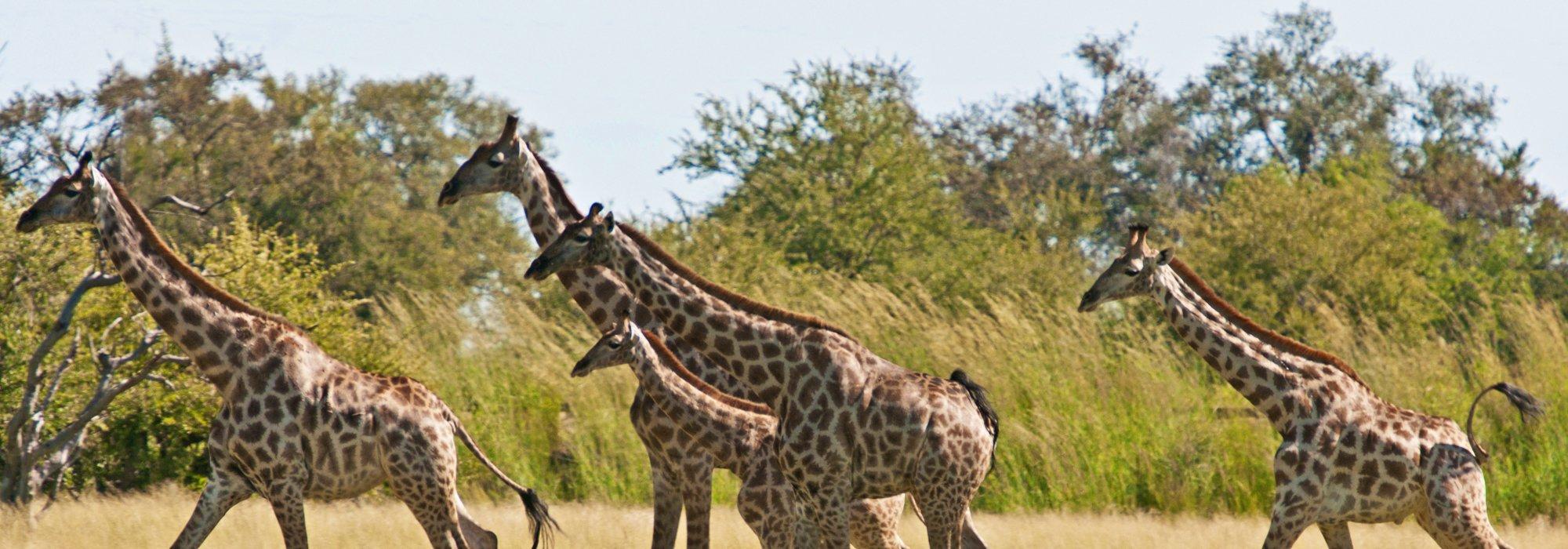 Giraffes on the Ngamo Plains