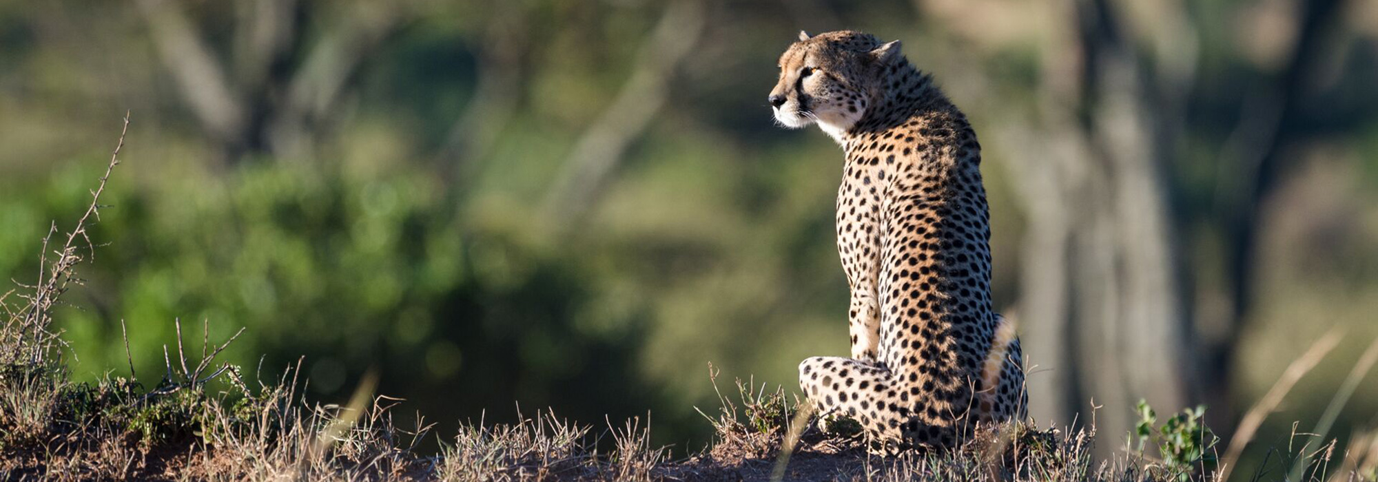 Majestic Leopard