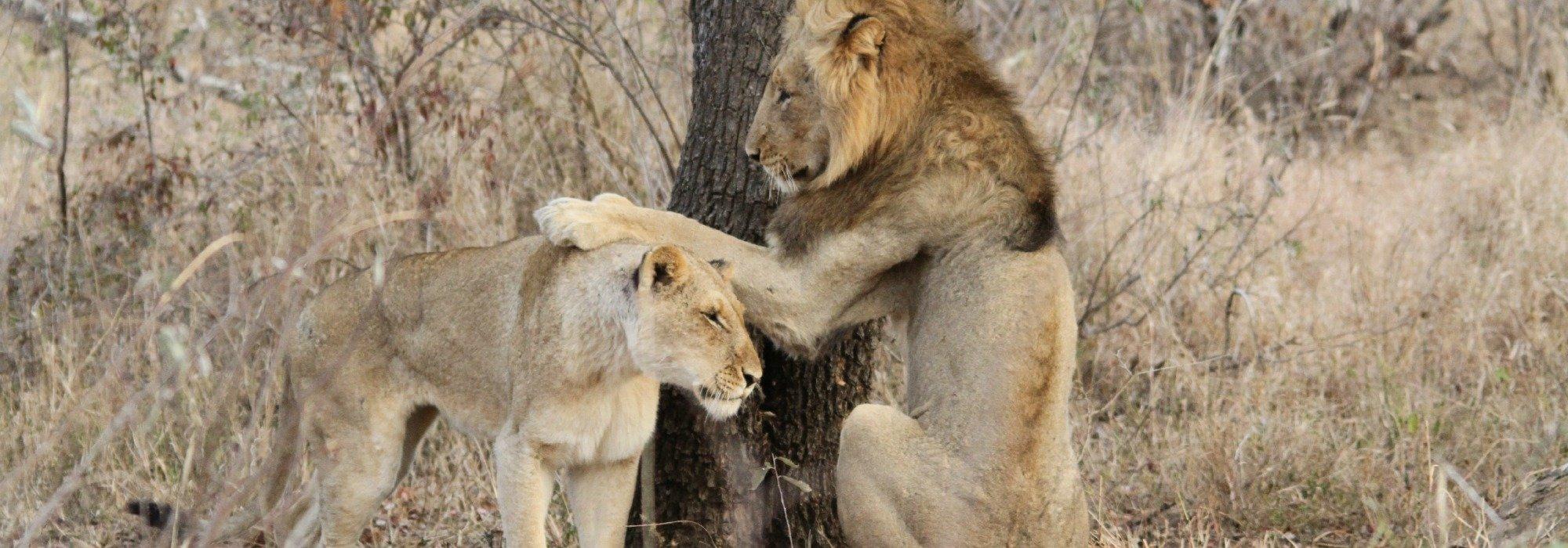 Lion and Lioness on Safari