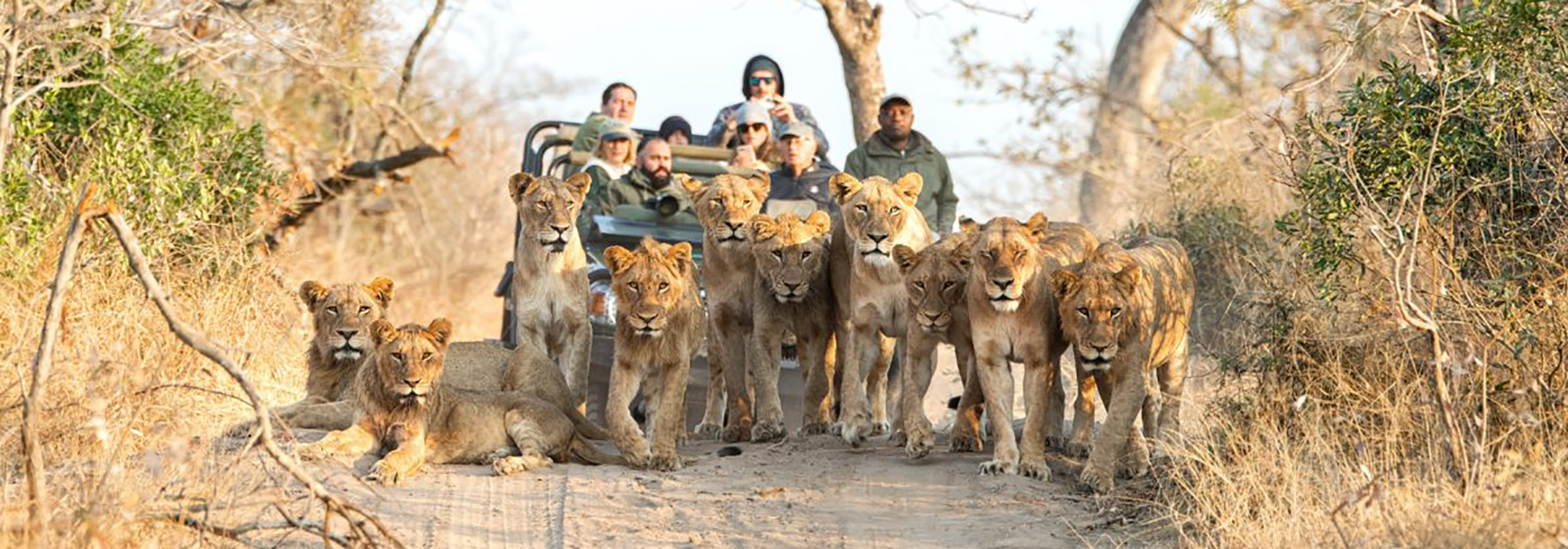 Lions blocking the road