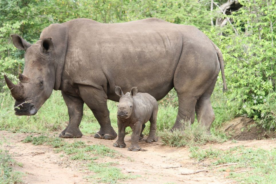 A rhino mother and its baby in Africa