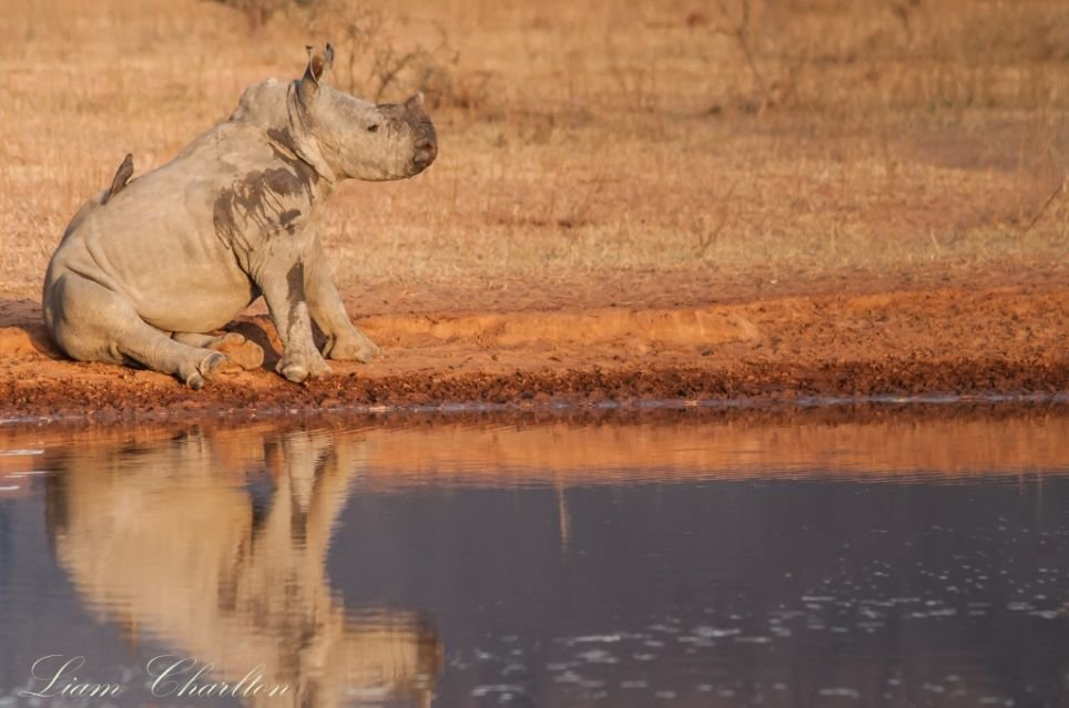 A rhino sitting by a waterhole in Africa