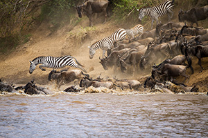 Wildebeest and Zebra Migration