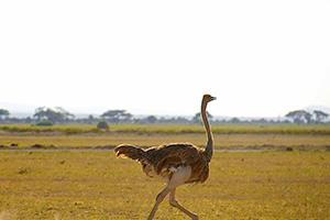 Ostrich in Amboseli