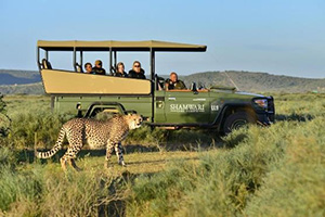 Cheetah at Shamwari