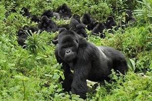 Gorilla trekking in Africa