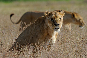 Lions in Ngorongoro Crater