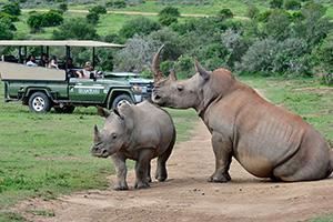 Rhinos at Shamwari