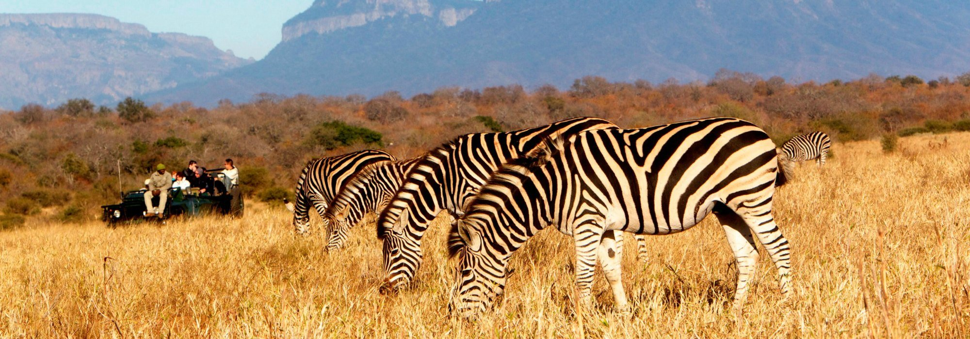 Zebras on safari at Kapama Game Reserve