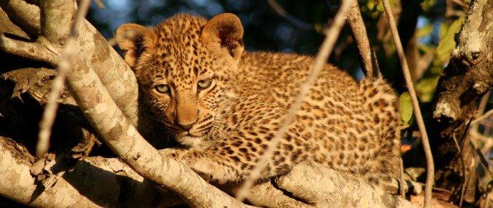 A leopard cub in a tree