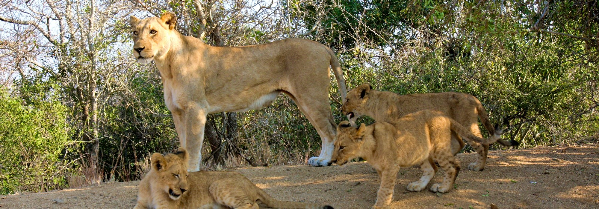 Lioness and cubs in Africa