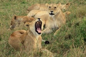Lions in the Motorogi Conservancy