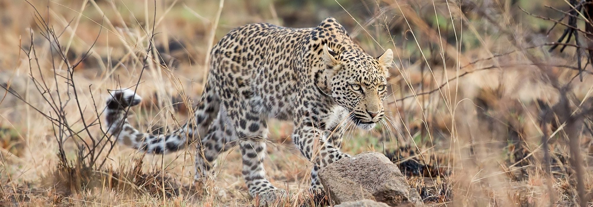 Leopared on safari in Pilanesberg