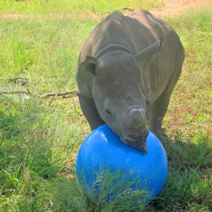 Rhino orphan with ball