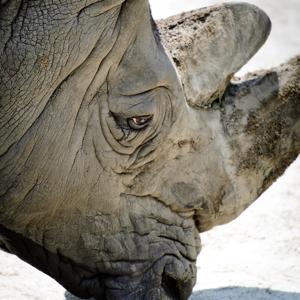 Rhino Close-up