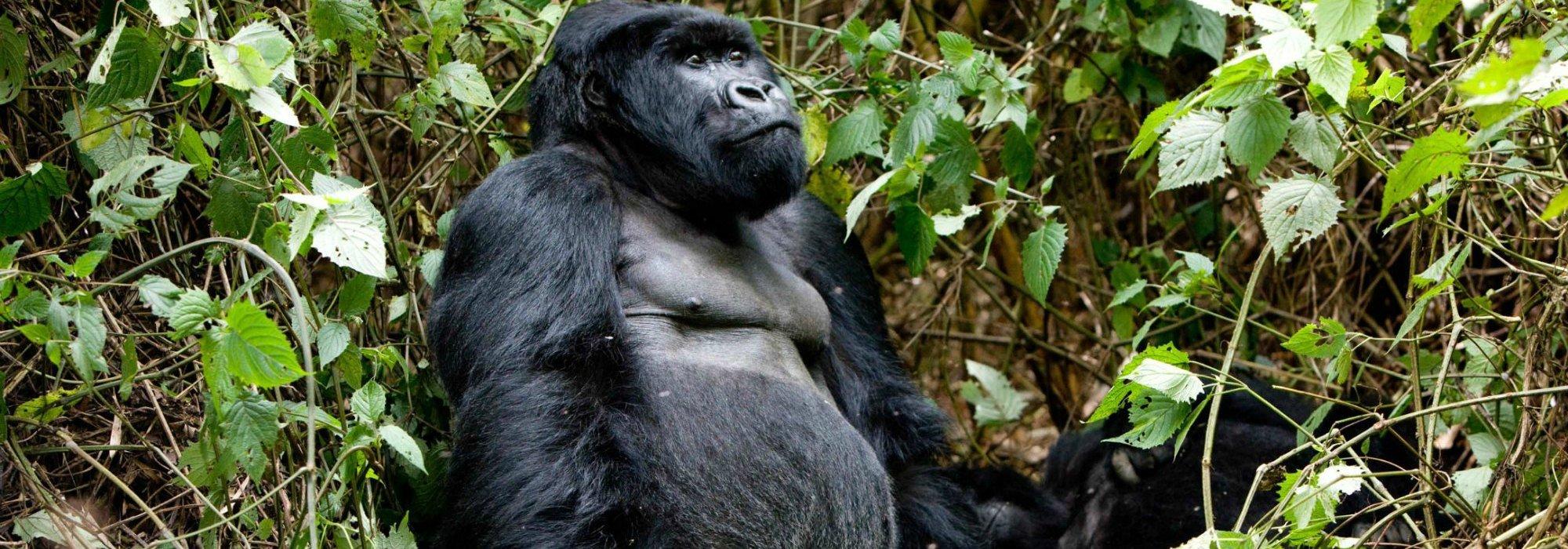 Volcanoes National Park Gorillas