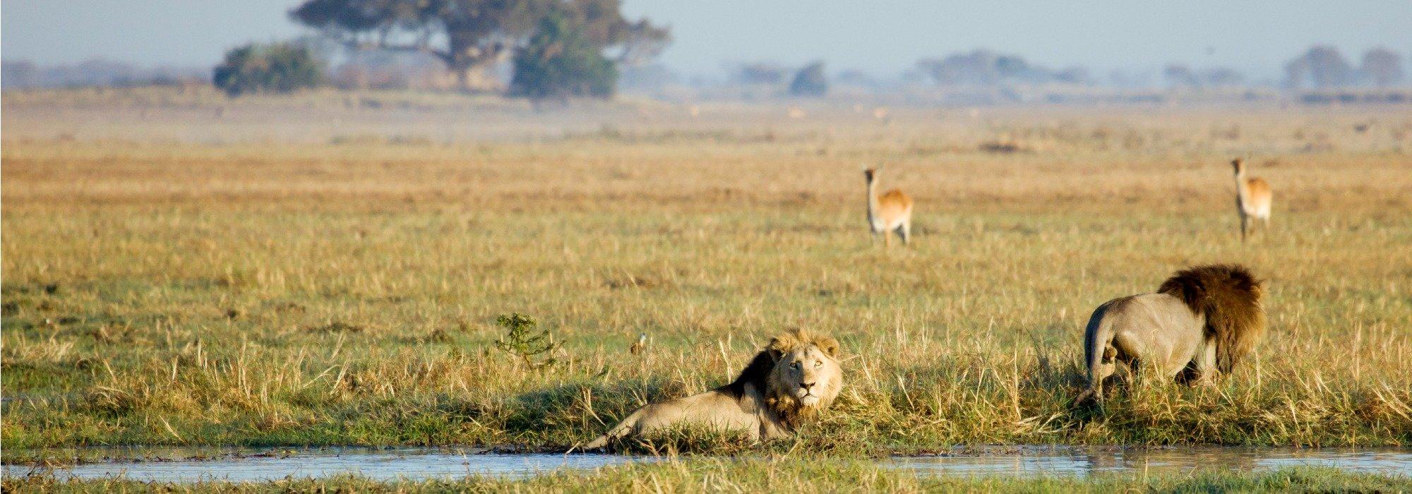 Busanga Swamp Lions
