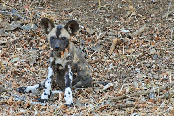 Wild Dog Puppy in Africa