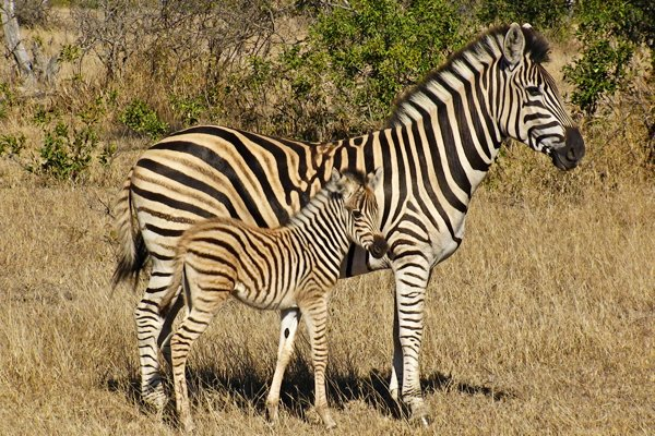 Zebra mom and baby in Africa