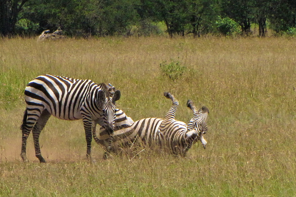 Zebra on the plains of the Serengeti, Tanzania