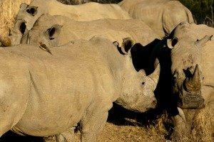 Kapama Game Reserve - Rhinos